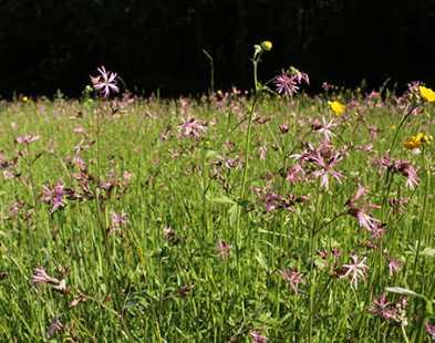 Prairie humide à fleur de coucou (Holcetum lanati)