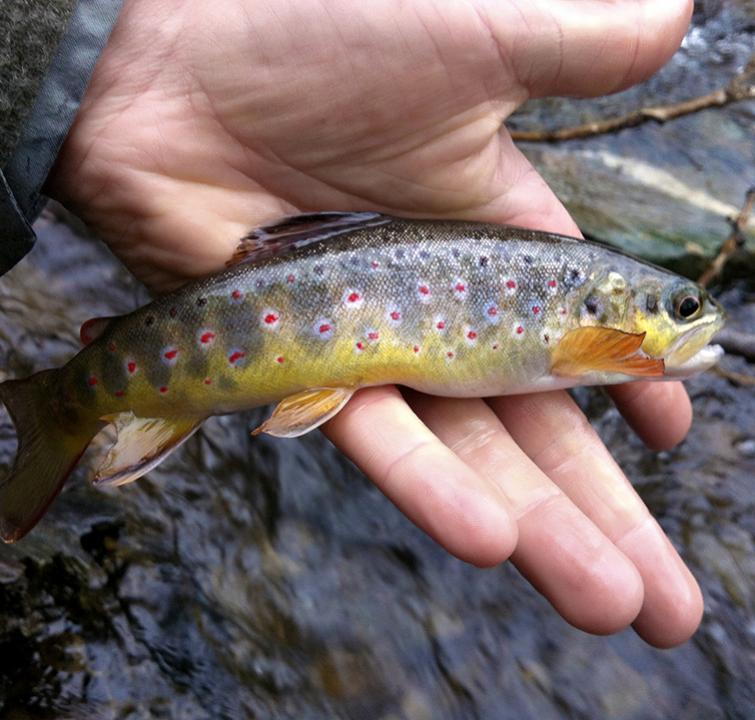 Photo truite fario CAS poissons